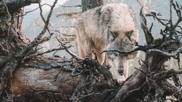 wwolf.jpg